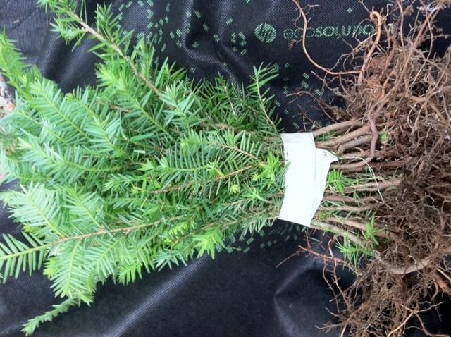 E Hemlock Tree Quany 8 Fresh Starter Seedlings 22 50