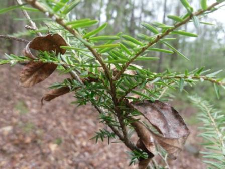 E Hemlock Tree 15inch Fresh Starter Seedlings 28 25