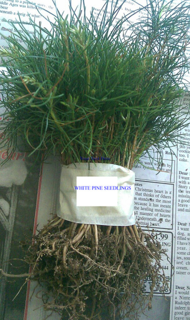 White Pine Tree Quany 20 Fresh Starter Seedlings 35 99