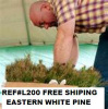 APPALACHIAN MOUNTAIN GROWN FALL / WINTER PLANTING WHITE PINE TREE QUANTITY(200) FREE SHIPPING SEEDLINGS !