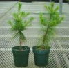 (REF.C.C) FREE SHIPPING (2) WHITE PINE TREE 12 - 15 inch FRESH STARTER SEEDLINGS