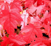 Ref.#ELC.  PRE-ORDER SALE  STARTER SEEDLINGS RED MAPLE TREE QUANTITY(25) FRESH