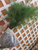 40 White Pine tree Seedlings