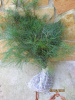 Appalachian Mountain Grown  Eastern White Pine 1 foot starter tree Seedling 12 inches Quantity of 10