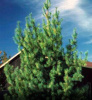 APPALACHIAN MOUNTAIN GROWN  WHITE PINE TREE 4 FOOT STARTER SEEDLINGS 48INCH