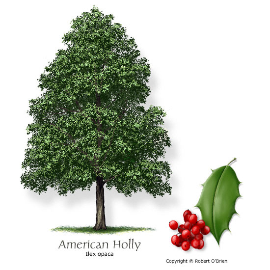 AMERICAN HOLLY 50 SEEDLINGS