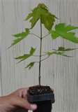 Qty-1 Carolina Red Maple starter Seedling 12 inches tall