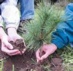 APPALACHIAN MOUNTAIN GROWN  Nursery Seedling Eastern White Pine 15 -18 inch(100)