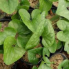 Arrow-Leaf Ginger - Hexastylis arifolia