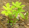 Appalachian Mountain Grown GoldenSeal Starter Seedlings  Qty- 6