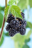 Fast Growing Blackberry Bush 24 inch to 36 inch tall