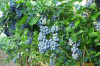 Blue Ridge Blueberry Bush 12 inch to 24 inch  tall
