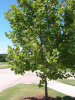 "AMERICAN SYCAMORE 12"" TALL STARTER SEEDLINGS QTY-12"