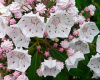 Mountain Laurel Starter Seedling  Qty- 1